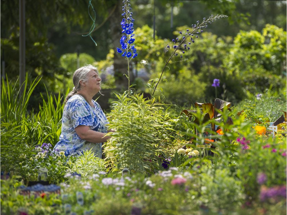 VANCOUVER, BC - MAY 3, 2016, - Sandra Vornbrock shops around at Art Knapp Plantland in Port Coquitlam, BC. April 30, 2016. Story about Metro Vancouver garden centres doing great business this year for two main reasons: early hot weather and more people taking to home gardening to grow their own vegetables. (Arlen Redekop / PNG photo) (story by Brian Morton) [PNG Merlin Archive]